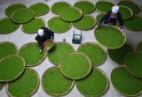 Сорта японского зелёного чая